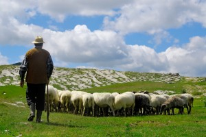 Shepherd-watching-flock